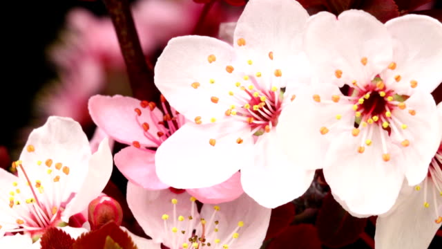 pink cherry tree blooming - bud stock videos & royalty-free footage