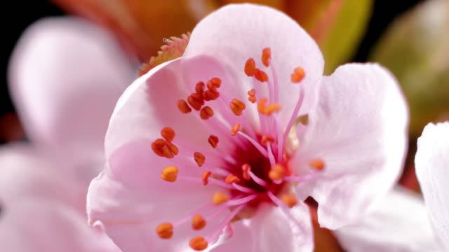 ピンクチェリーの花が咲く桜 - さくら - 花粉点の映像素材/bロール