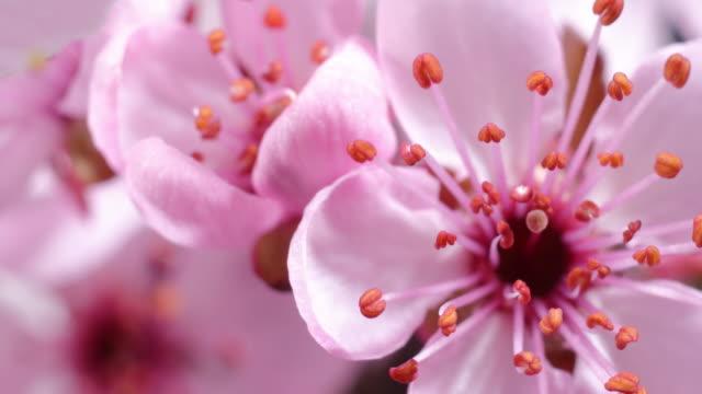 vidéos et rushes de floraison rose de fleur de cerisier - sakura - printemps