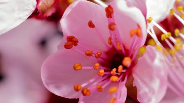 vídeos de stock, filmes e b-roll de flor de cerejeira rosa florescendo - sakura - flower head