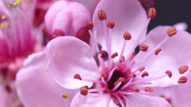 vídeos de stock e filmes b-roll de pink cherry tree flower blooming - sakura - cabeça de flor