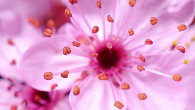 vídeos y material grabado en eventos de stock de flor de cerezo rosa floreciente - sakura - flower head