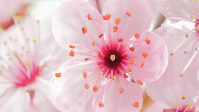rosa kirschbaum blume blüht mit wassertropfen - pink colour stock-videos und b-roll-filmmaterial