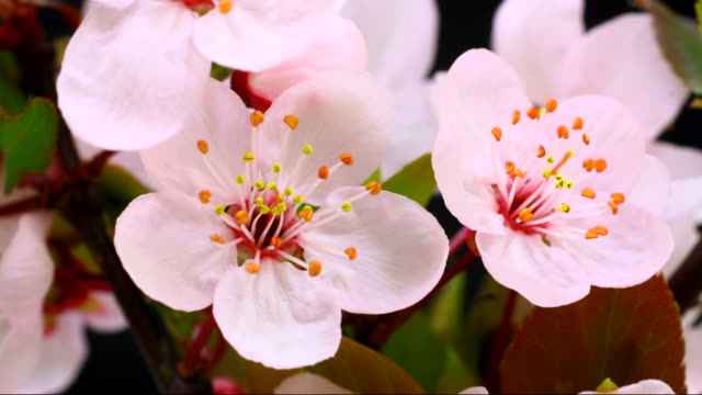 pink cherry tree flowers blooming 4k - botany stock videos & royalty-free footage