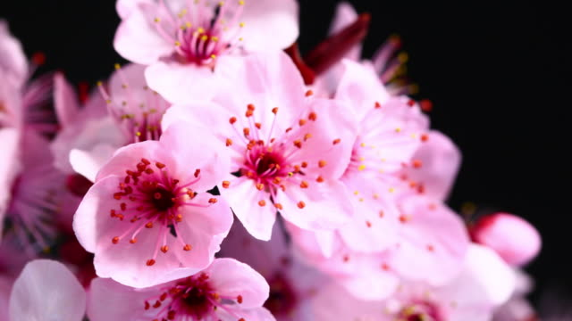 pink cherry tree flowers blooming 4k - cherry blossom stock videos & royalty-free footage
