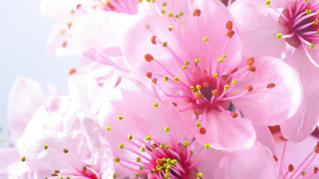 pink cherry tree flowers blooming 4k - single flower stock videos & royalty-free footage