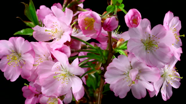 stockvideo's en b-roll-footage met roze kersenboom bloemen bloeiende 4k - enkele bloem