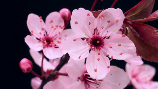 Árvore de cereja rosa flores a desabrochar 4 k