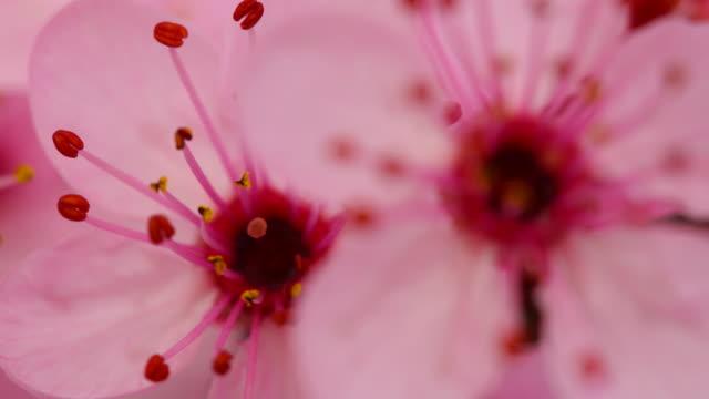 stockvideo's en b-roll-footage met roze kersenboom bloemen bloeiende 4k - bedektzadigen