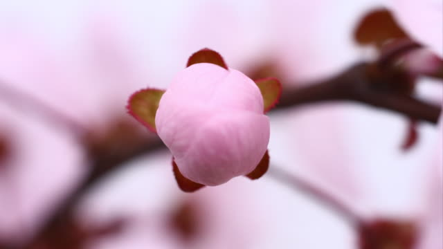 pink cherry tree flowers blooming 4k - flower head stock videos & royalty-free footage