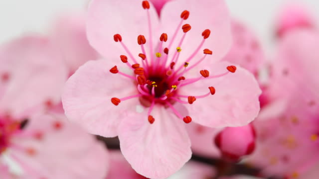 pink cherry tree flowers blooming 4k - multiple exposure stock videos & royalty-free footage