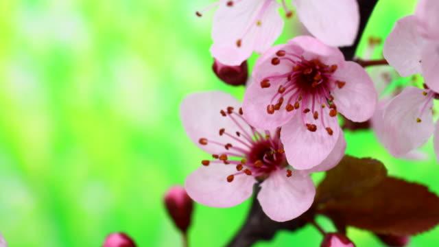 vídeos de stock e filmes b-roll de árvore de cereja rosa flores a desabrochar 4 k - prunus taihaku