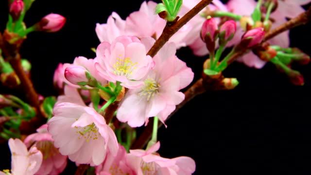 Pink cherry Baum Blumen erblühen 4 K