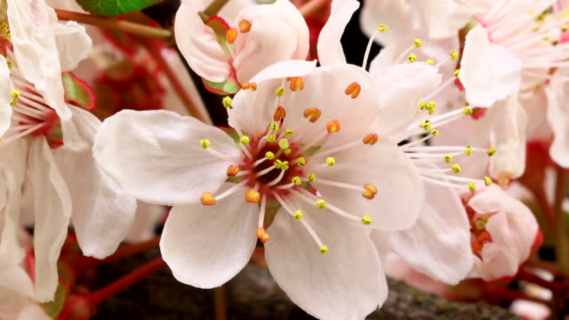 Pink cherry tree flowers blooming 4K