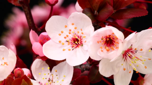 pink cherry tree flowers blooming hd 4k - bud stock videos & royalty-free footage