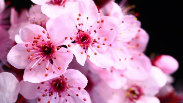 vídeos de stock e filmes b-roll de árvore de cereja rosa flores a desabrochar hd 4 k - prunus taihaku