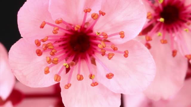 ピンクチェリーツリーの花満開 hd - 太白桜点の映像素材/bロール