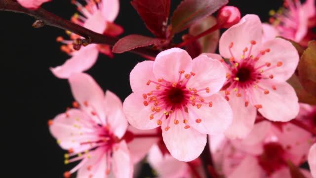 vídeos de stock e filmes b-roll de árvore de cereja rosa flores desabrochando hd - prunus taihaku