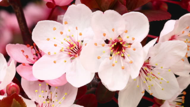 stockvideo's en b-roll-footage met pink cherry tree flowers blooming hd - bloeien tijdopname