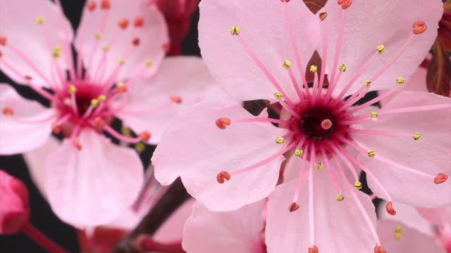 Pink cherry tree flowers blooming HD