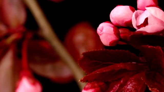 ピンクチェリーツリーの花満開 hd - flower head点の映像素材/bロール