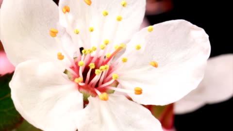 pink cherry tree flowers blooming hd - single flower stock videos & royalty-free footage