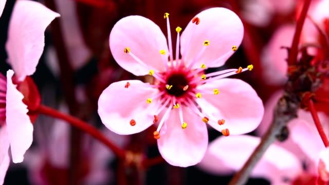 vídeos y material grabado en eventos de stock de cerezo rosa flores abiertas de alta definición - florecer
