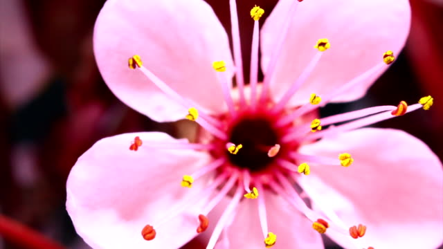 pink cherry tree flowers blooming hd - bud stock videos & royalty-free footage