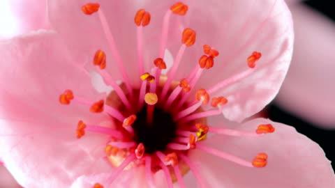 pink cherry tree flowers blooming - sakura - single flower stock videos & royalty-free footage