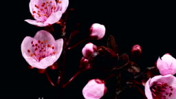 Pink cherry tree flowers blooming - Sakura