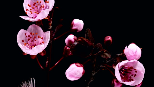 pink cherry tree flowers blooming - sakura - bud stock videos & royalty-free footage