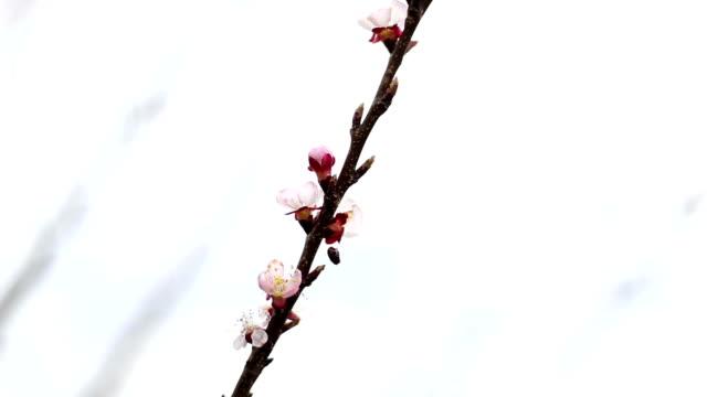 Pink cherry Baum Blumen erblühen