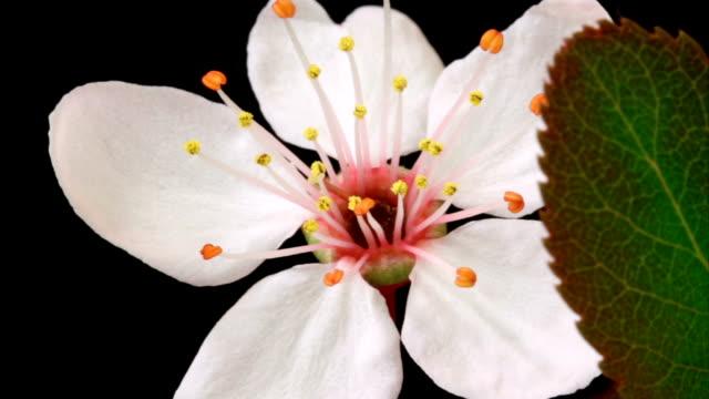 vídeos de stock e filmes b-roll de rosa flores desabrochando árvore de cereja - prunus taihaku