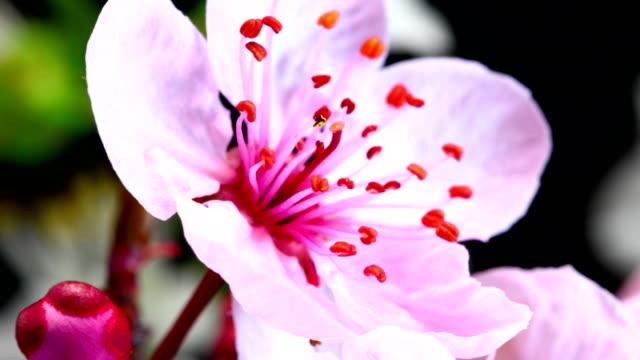 pink cherry tree flowers blooming - bud stock videos & royalty-free footage