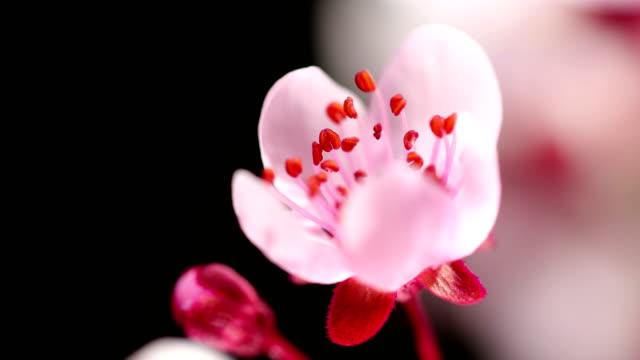rosa körsbärsträd blommor blommar - knopp växters utvecklingsstadium bildbanksvideor och videomaterial från bakom kulisserna