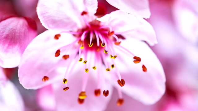 pink cherry tree flowers blooming - single flower stock videos & royalty-free footage
