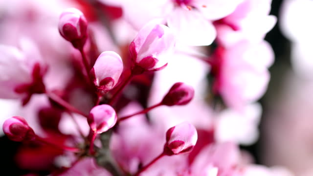 pink cherry tree flowers blooming - blossom stock videos & royalty-free footage