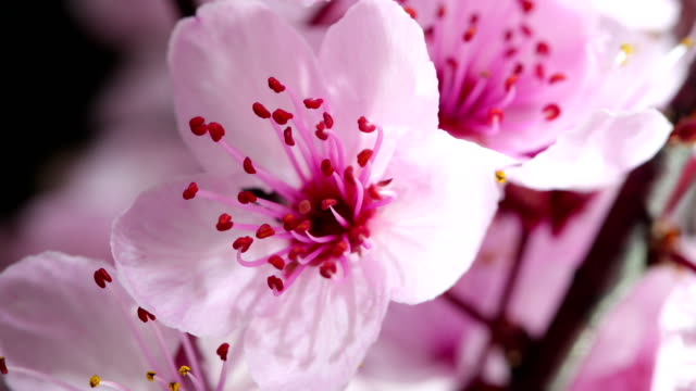 pink cherry tree flowers blooming - great white cherry stock videos & royalty-free footage