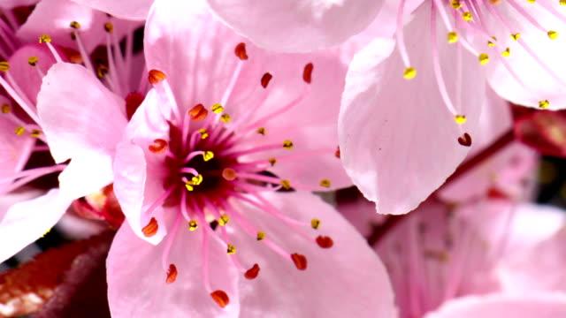 花満開のピンクチェリーツリー - 太白桜点の映像素材/bロール