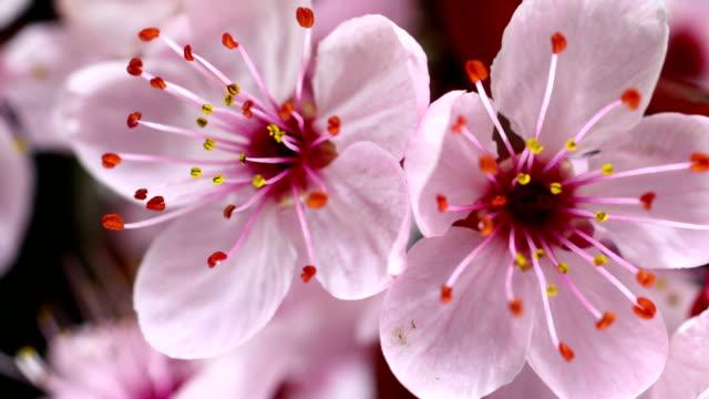 Pink cherry tree flowers blooming