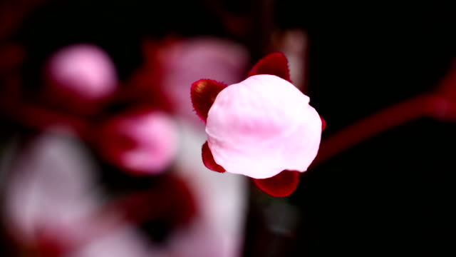 vídeos y material grabado en eventos de stock de flores de cerezo rosa flor abriéndose - florecer