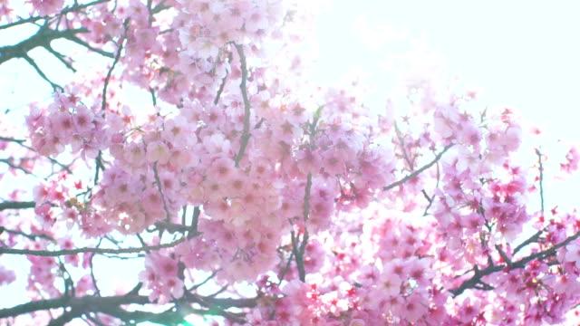 vídeos de stock e filmes b-roll de pink cherry tree flowers blooming - prunus taihaku