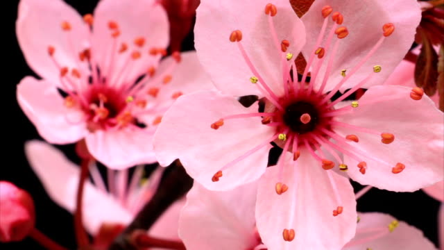 stockvideo's en b-roll-footage met pink cherry tree flowers blossoming hd - bloeien tijdopname