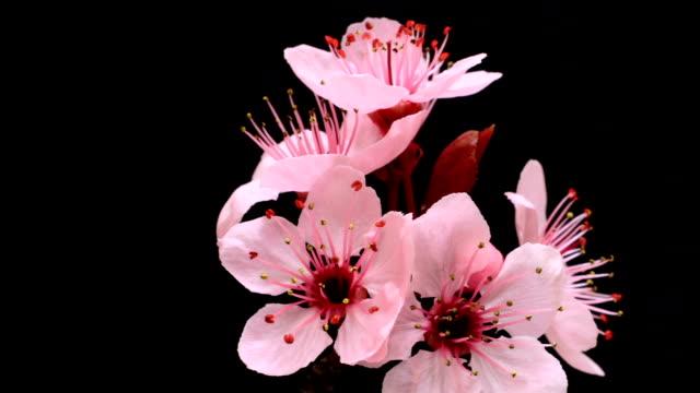 vídeos de stock e filmes b-roll de árvore de flores de cereja rosa blossoming hd - prunus taihaku