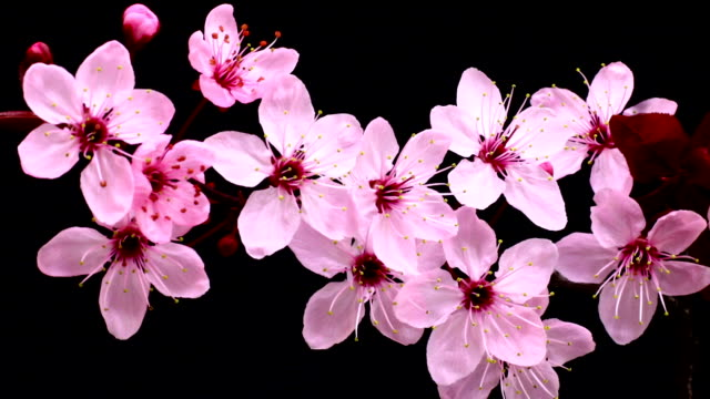pink cherry tree flowers blossoming hd - single flower stock videos and b-roll footage
