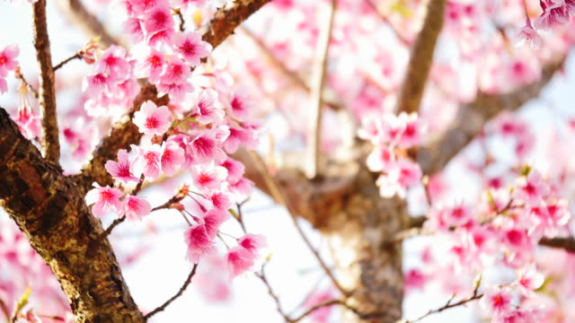 vídeos de stock e filmes b-roll de pink cherry tree flowers - prunus taihaku
