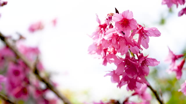 pink cherry tree flowers - the ageing process stock videos & royalty-free footage