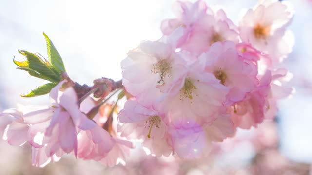 vídeos y material grabado en eventos de stock de árbol de cerezo rosa en flor - brightly lit