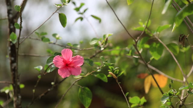 pink Chinese-rose on tree