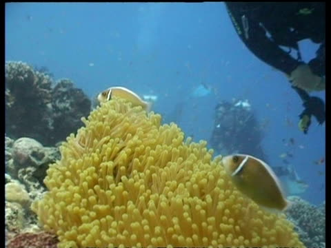 stockvideo's en b-roll-footage met pink clownfish by yellow anemone, zoom out to divers swimming over reef, sipadan, borneo, malaysia - vachtpatroon